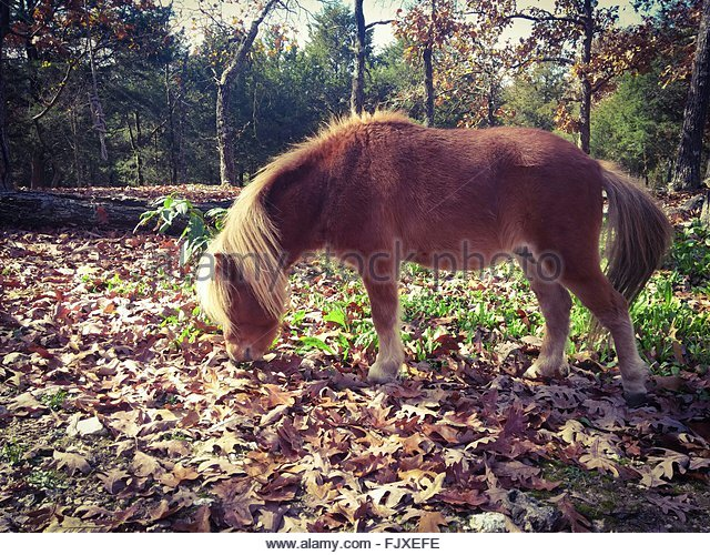 miniature horse grazing on field with dry leaves fjxefe