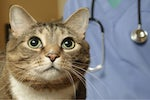 Acromegaly in cats is a chronic problem 470x341
