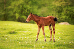 A young foal of a dark brown color grazes on a green meadow against a background of a young forest in the rays of the setting sun in the Caucasus.