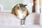 glucosamine for cats