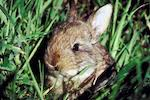 rabbit ivermectina