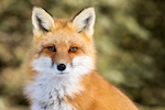 Red Fox - Vulpes vulpes, sitting up at attention, direct eye contact, a little snow in its face, tree bokeh in background