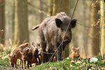 wild boar family killed rome kids playground