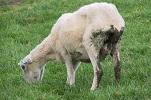5 johnes paratuberculosis wasting diseases sheep