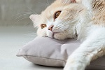 cat lying on pillow