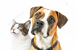 depositphotos 159413156 stock photo boxer dog and cat together