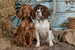 english cocker spaniel inglese e springer spaniel frxnpj