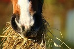 horse eating hay 270x180
