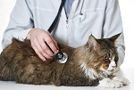 vet Cat with Stethoscope
